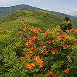Bicolor Azalea on Grassy Ridge
