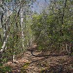 Mountain Laurel on Squirrel Gap Trail