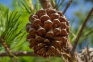 Mature pine cone