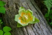 Tulip poplar flower