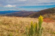 Goldenrod - Linville Gorge Peaks