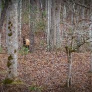 Arizona elk headed to West Virginia